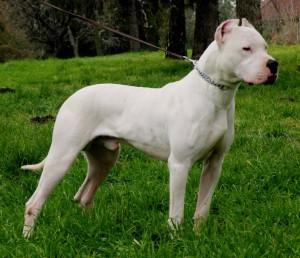 argentino_dog