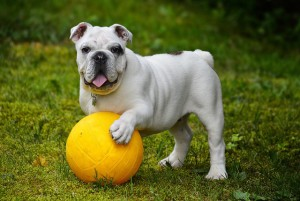 english-bulldog-562723_640