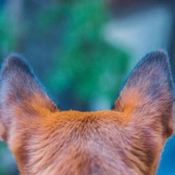 фото лечить уши собак2