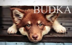 фото собака Budkahome