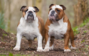 english-bulldog2