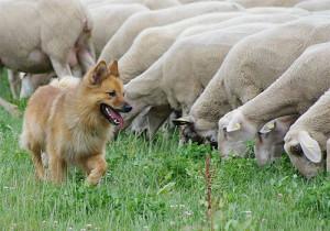фото пастушья собака
