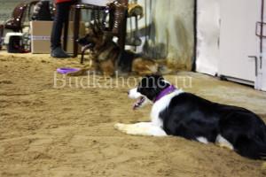 фото собаки аджилити