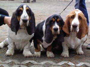 basset-hounds-883517_640