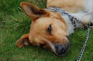 фото собака лежит