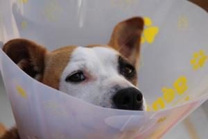 фото лечить уши собак4
